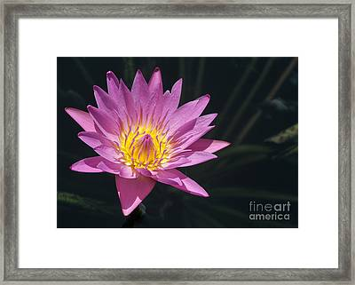 Pretty Pink And Yellow Water Lily Framed Print by Sabrina L Ryan