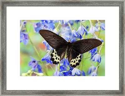 Priapus Batwing Swallowtail Butterfly Framed Print by Darrell Gulin