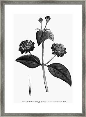 Prickly Lantana, 1789 Framed Print by Granger
