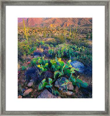 Prickly Pear And Saguaro Cacti, Santa Framed Print by Panoramic Images