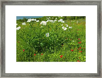 Prickly Poppy Blooming In Central Texas Framed Print by Larry Ditto