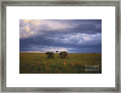 Pride Of Lions Framed Print by Art Wolfe