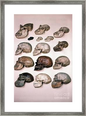 Primate Skulls Apes And Humans Framed Print by E R Degginger