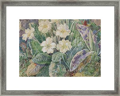 Primrose And Orchid Framed Print by Thomas Collier
