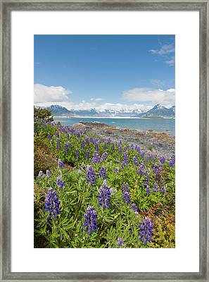Prince William Sound, Alaska, Lupine Framed Print by Hugh Rose