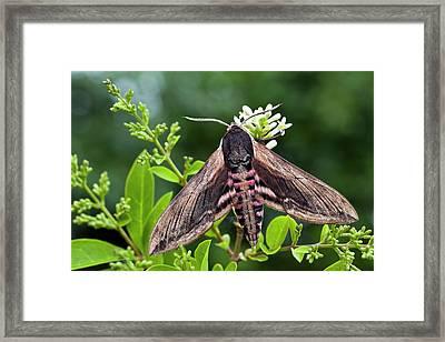 Privet Hawk-moth Framed Print by Alex Hyde