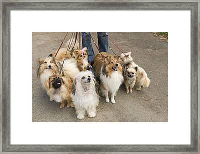 Professional Dog Walker Framed Print by Jean-Michel Labat
