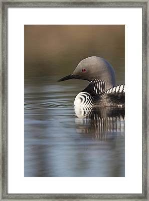 Profile Of A Pacific Loon Framed Print by Tim Grams