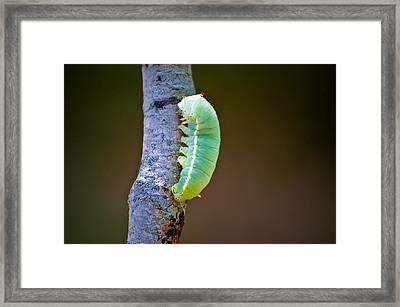Promethea Moth Caterpillar Framed Print by Rich Leighton