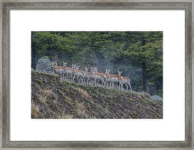 Pronghorn Framed Print by Gary Hall