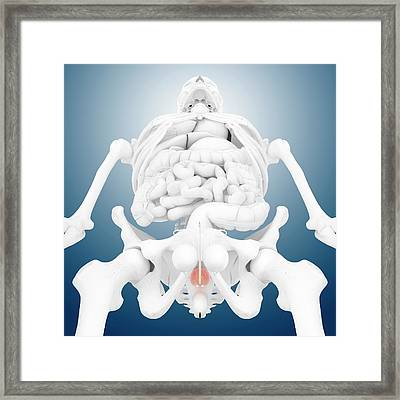 Prostate Gland Framed Print by Springer Medizin