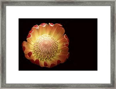 Protea 2 Full Framed Print by Rebecca Cozart