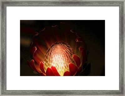 Protea Flower 2 Framed Print by Rebecca Cozart