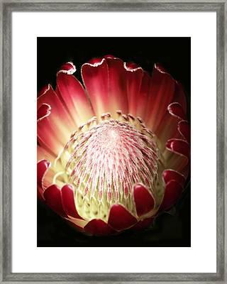 Protea Flower Framed Print by Rebecca Cozart