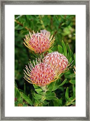 Protea (leucospermum Cordifolium) Framed Print by Adrian Thomas