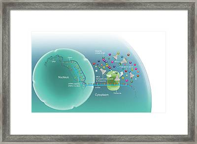 Protein Synthesis Framed Print by Mikkel Juul Jensen