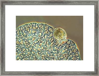Protozoan Ingesting Rotifer Framed Print by Marek Mis