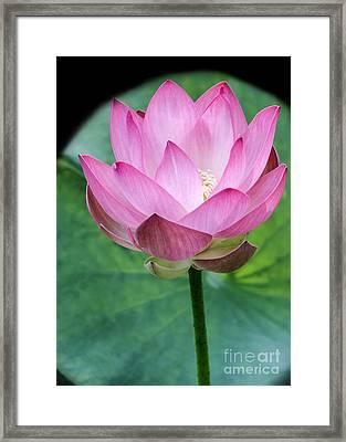 Proud Pink Lotus Framed Print by Sabrina L Ryan