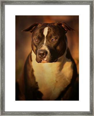 Proud Pit Bull Framed Print by Larry Marshall