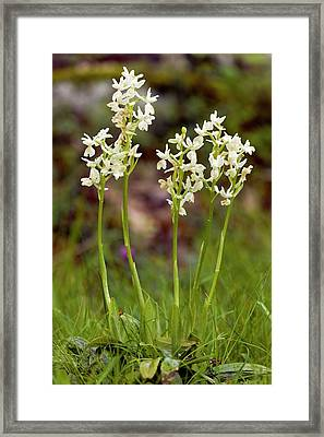 Provence Orchids (orchis Provincialis) Framed Print by Bob Gibbons