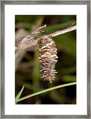 Psychid Moth Pupal Case Framed Print by Bob Gibbons