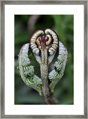 Pteridium Aquilinum Fronds Unfurling Framed Print by Science Photo Library
