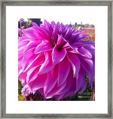 Puff Of Pink Dahlia Framed Print by Susan Garren