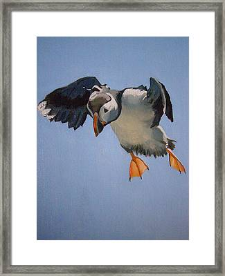 Puffin Landing Framed Print by Eric Burgess-Ray