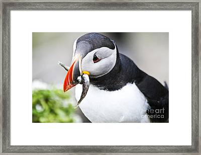 Puffin With Fish Framed Print by Heiko Koehrer-Wagner