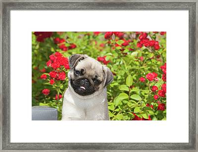 Pug Puppy In Red Roses Framed Print by Piperanne Worcester