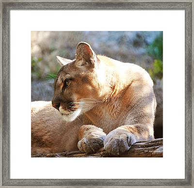 Puma 3 Framed Print by DiDi Higginbotham