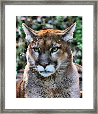 Puma Framed Print by Kristin Elmquist