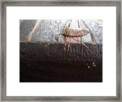 Pumpkin Bug  000 Framed Print by Chris Mercer
