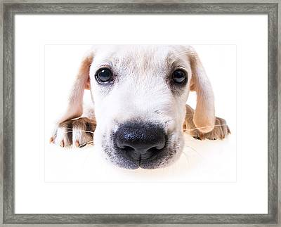Puppy Face Framed Print by Diane Diederich