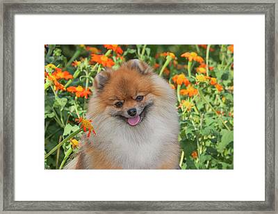 Purebred Pomeranian Sitting Among Framed Print by Piperanne Worcester