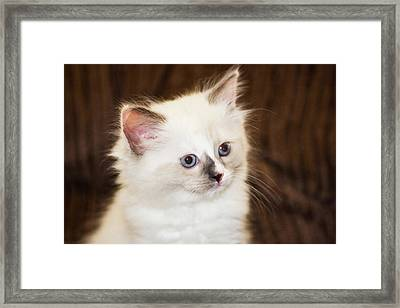 Purebred Rag Doll Cat Framed Print by Piperanne Worcester