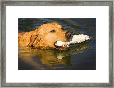 Purebred Yellow Labrador Swimming Framed Print by Piperanne Worcester