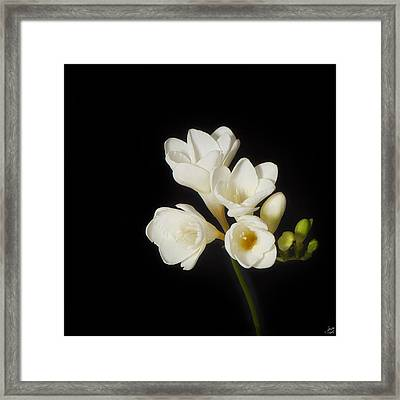 Purity   A White On Black Floral Study Framed Print by Lisa Knechtel