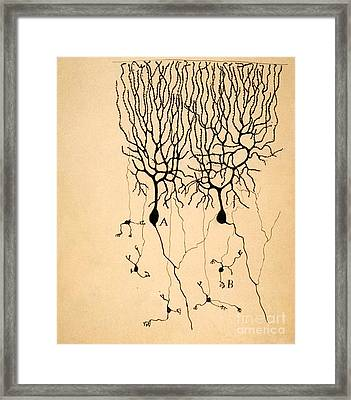 Purkinje Cells By Cajal 1899 Framed Print by Science Source