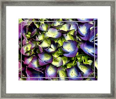 Purple And Ivory Hydrangeas Framed Print by Rose Santuci-Sofranko