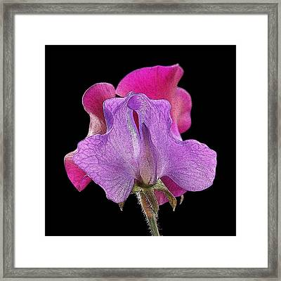 Purple And Pink Sweet Pea Close Up Framed Print by Gill Billington