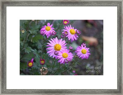 Purple Asters Framed Print by Lena Auxier