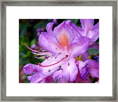 Purple Azalea Framed Print by Rona Black
