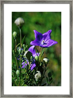 Purple Balloon Flower Framed Print by Anonymous