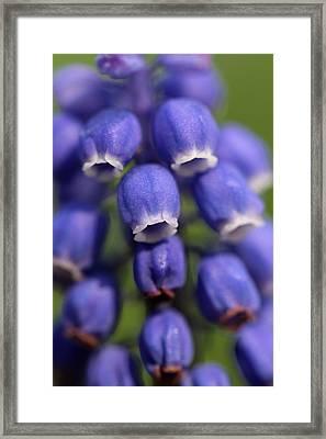 Purple Bells Framed Print by Juergen Roth