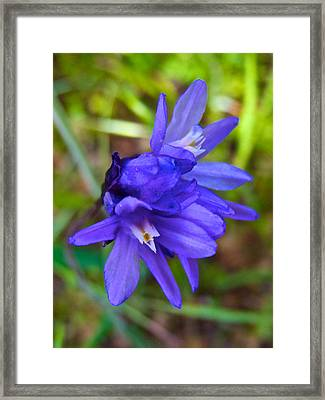 Purple Blue Dicks In Park Sierra-ca Framed Print by Ruth Hager