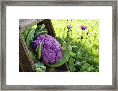 Purple Cauliflower Framed Print by Aberration Films Ltd