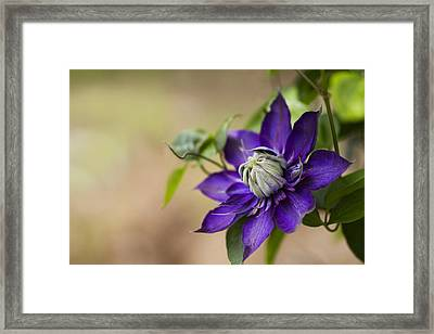 Purple Clematis Framed Print by Rebecca Cozart