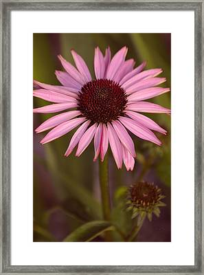 Purple Conflower And Bud Framed Print by Lesa Fine
