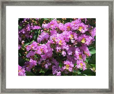 Purple Crape Myrtle Close Up Framed Print by Zina Stromberg
